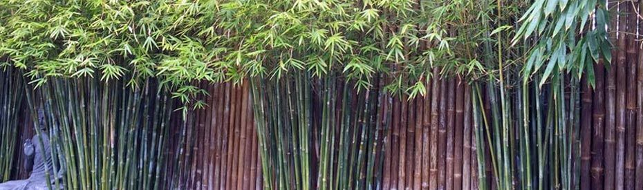 gracilis bamboo along fence to provide green screen and feature.