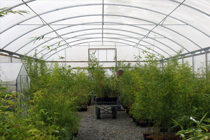 Bamboo plants in a glasshouse