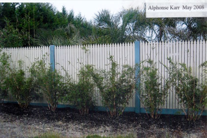 Alphonse Karr bamboo in may 2008 to see the growth rate