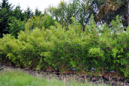 Alphonse Karr bamboo in december 2010.