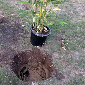 Dig hole same height as bamboo plant pot and twice as big.