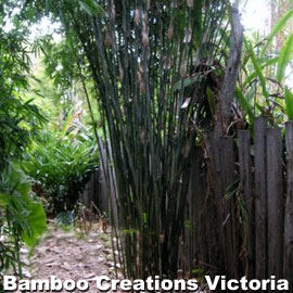 Bambusa multiplex albo striata or commonly known as albo striata bamboo