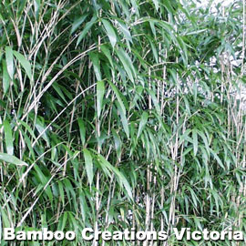 Arrow bamboo forming a beautiful green screen or wind block.