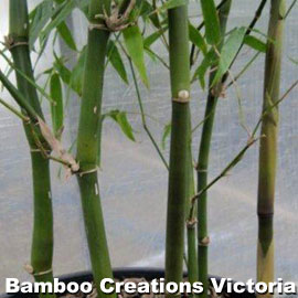 Buddhas Belly Bamboo is suitable for pots