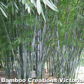 Barbelletta Bamboo