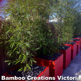 Black Bamboo in beautiful red pot - Essendon Melbourne