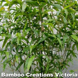 Buddhas Belly Bamboo