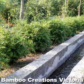 Chinese Goddess Bamboo as a garden edge or hedge.