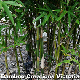 Bambusa albo minor (Cream Stripe Bamboo)