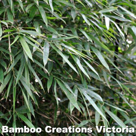 Close up of the Dark Weavers Bamboo beautiful foliage