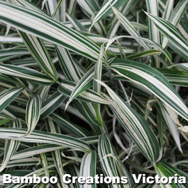 Dwarf Whitestripe Bamboo showing the magificent white strips down each leaf
