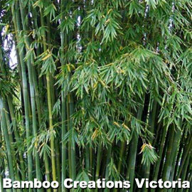 Emerald Goddess Bamboo