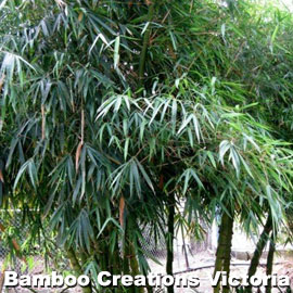 clumping Giant Buddhas Belly Bamboo with beautiful green foliage