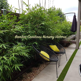 Stunning gracilis bamboo in a quiet special outdoor area