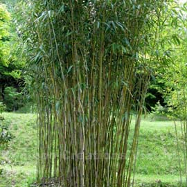 Green Onion Running Bamboo