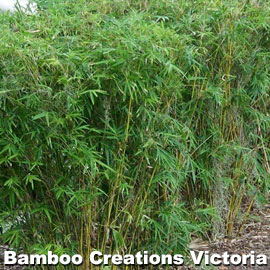 Bambusa multiplex (Hedge Bamboo)