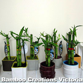 Lucky Bamboo C Size in decorative pots