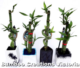 Lucky Bamboo size d - Straight and Curly canes