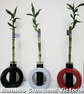 Lucky Bamboo size d in special decorative test tube type pots