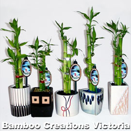 Lucky Bamboo C Size in decorative and different coloured pots