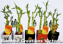 Lucky Bamboo - Chinese new year gift