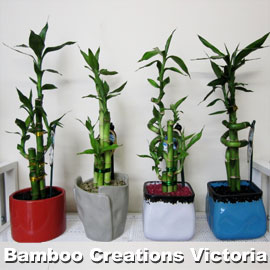 Lucky Bamboo E Size in decorative pots