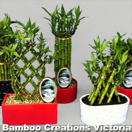 Lucky Bamboo G Size in decorative pots