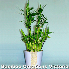 Lucky Bamboo h Size in decorative pots