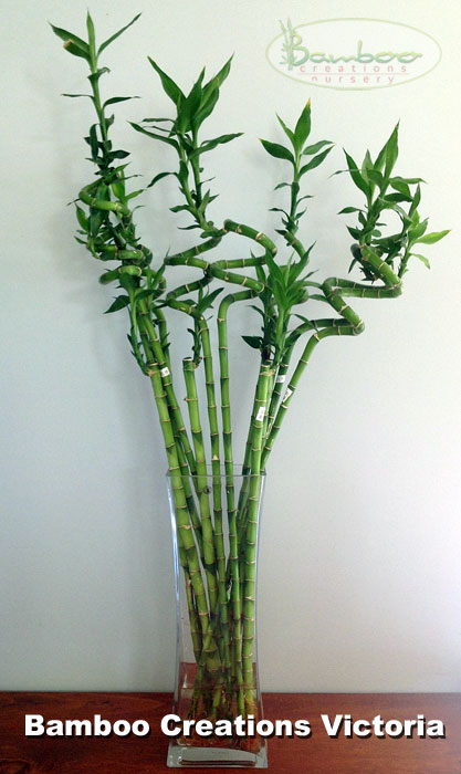 An Arrangement Of Lucky Bamboo Stems Is A Fancy Vase