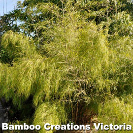 Beautiful yellowy Mexican Weeping Bamboo in full bloom