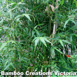 Sunburst Bamboo with magnificent green leaves.