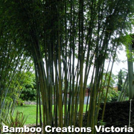 Weavers Bamboo